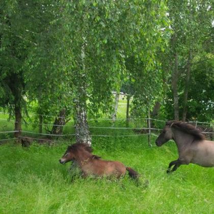 Ponys_Koppel